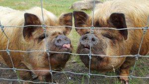 Woodlands pigs